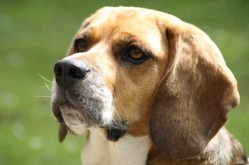 beagle-547865_640